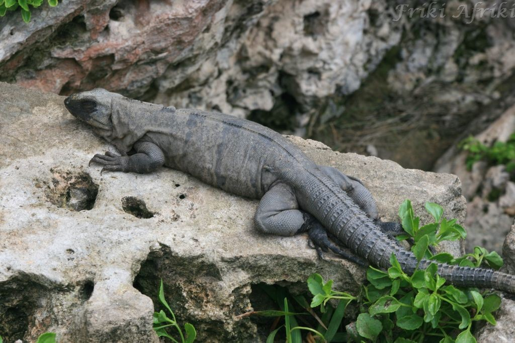 Iguana, Meksyk