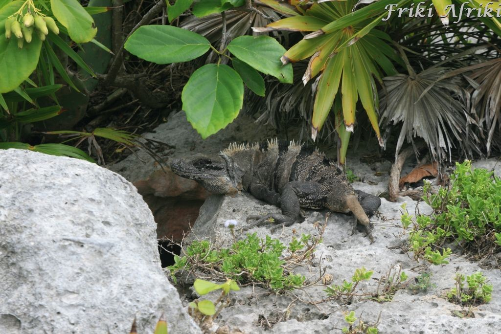 Wśród ruin mieszka wiele iguan