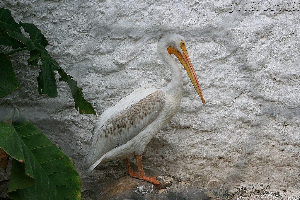 Hotelowy pelikan - inwalida (San Blas)