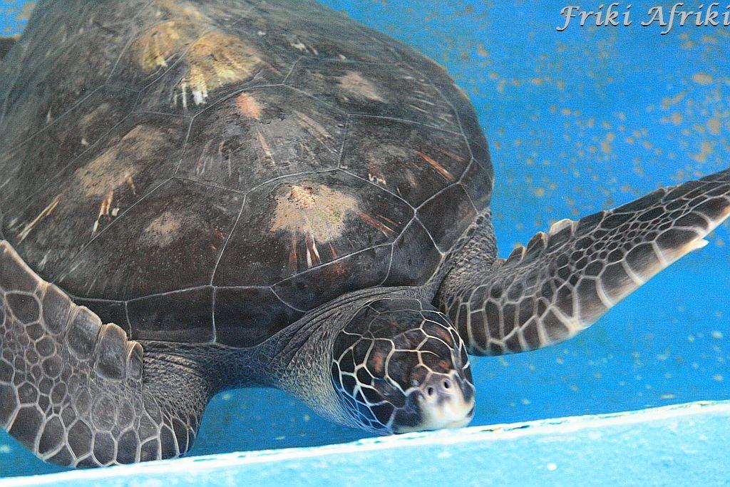 Żółwie w Mazunte