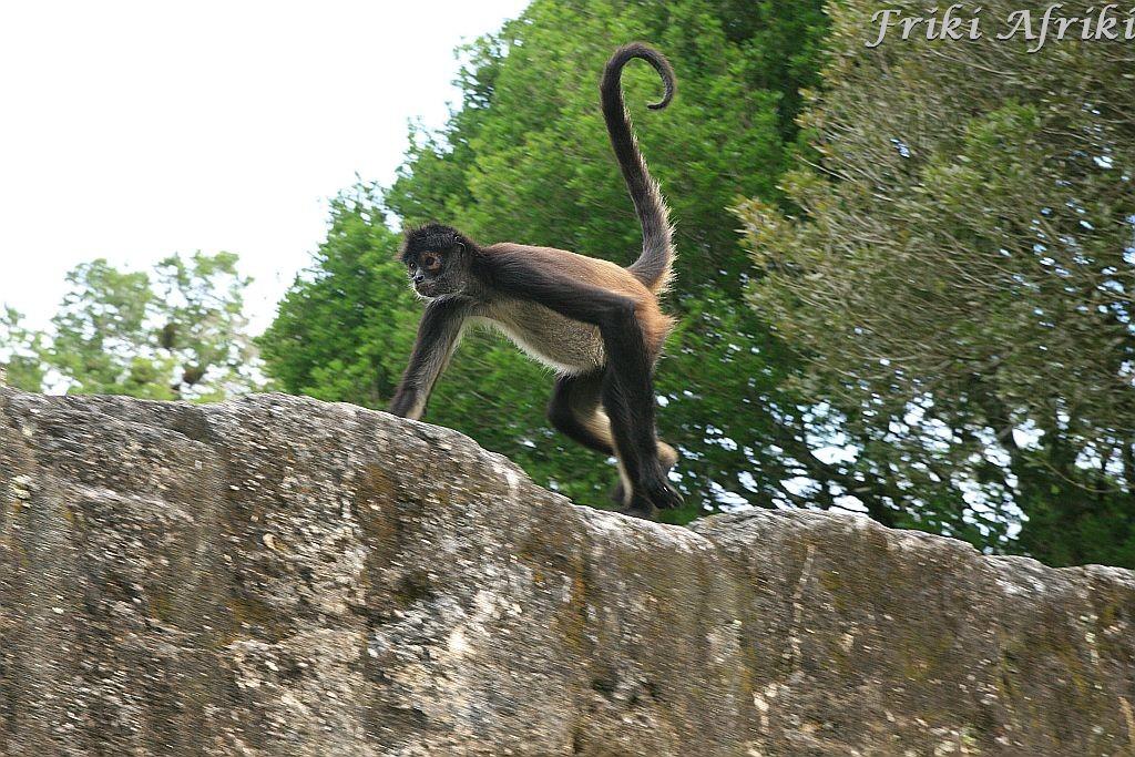 Spider monkey, Tikal, Gwatemala