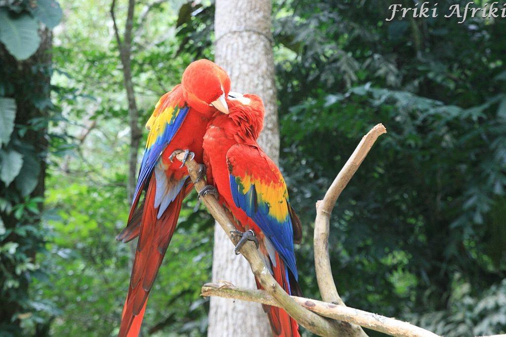 Czerwone Ary, Honduras
