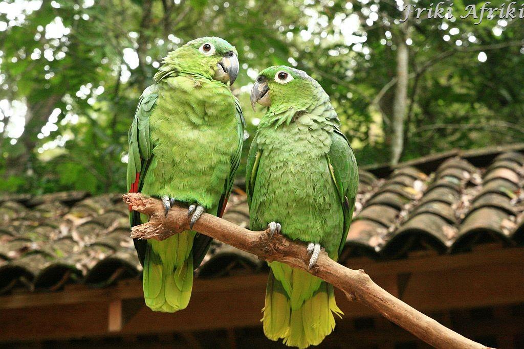 Papugi, Honduras