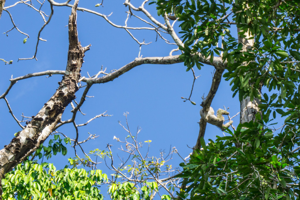 leniwiec w Matapalo