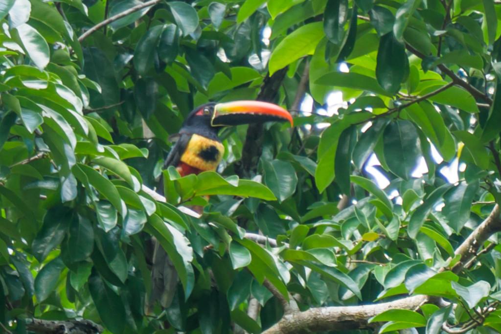 Tukan Aracari, Bolita