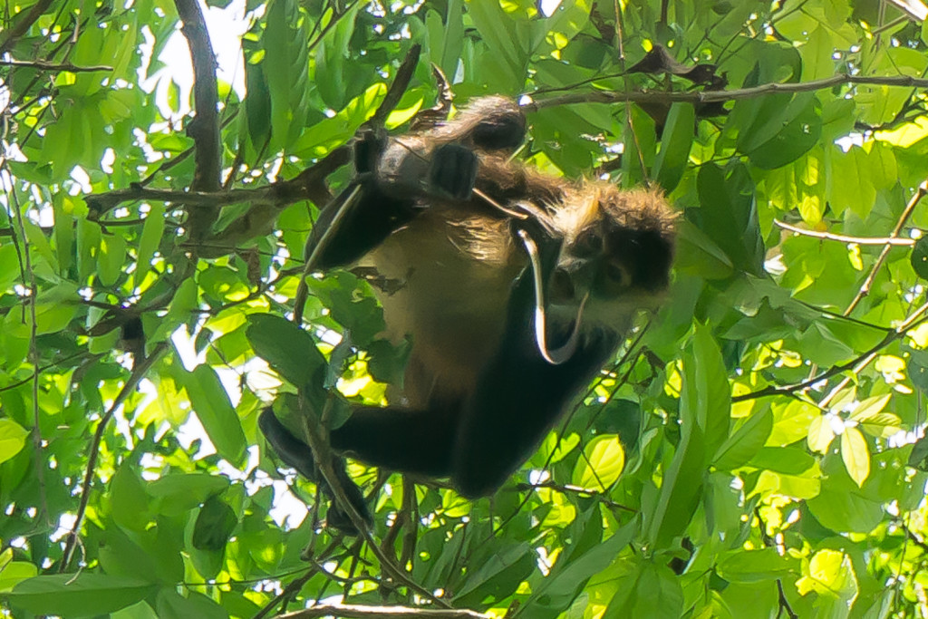 Spider Monkey, Matapalo