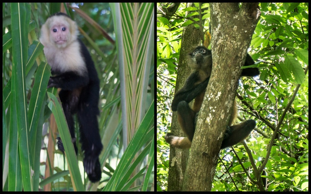 Kapucynka i inny małpiszon