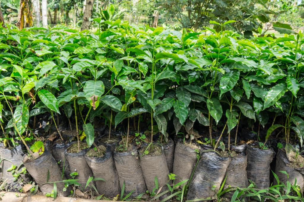 Młode krzaczki kawowca spędzą w workach 4 miesiące