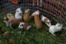 ekwador mercado de animales-34