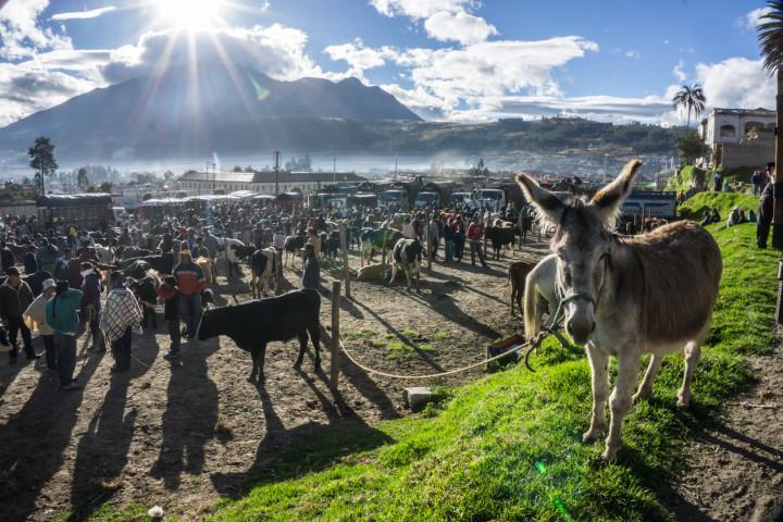 ekwador mercado de animales-6