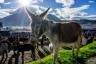 ekwador mercado de animales-7