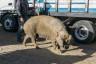 ekwador mercado de animales-8