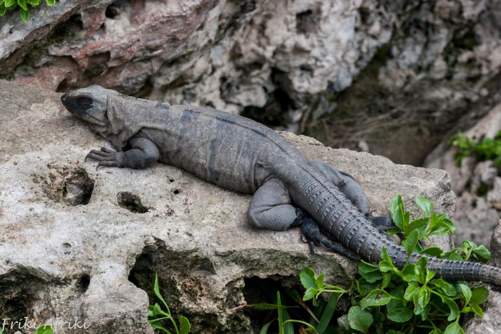 Albo Iguana?